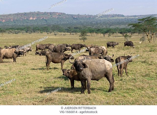 herd of African Buffalo, Syncerus caffer, NAKURU NATIONAL PARK, KENYA, EAST Africa - NAKURU NATIONAL PARK, KENYA, 24/09/2008