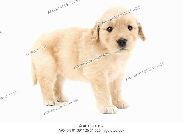 A gazing puppy