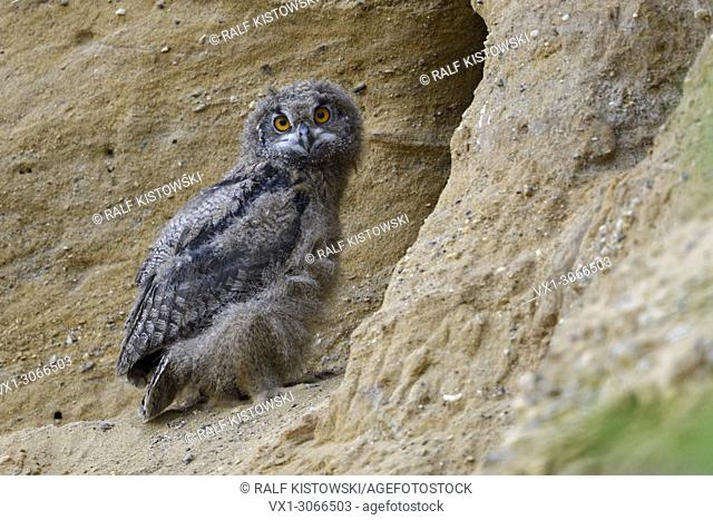 Eurasian Eagle Owl ( Bubo bubo ), young chick, standing in front of its nest burrow in a sand pit, wildlife, Europe