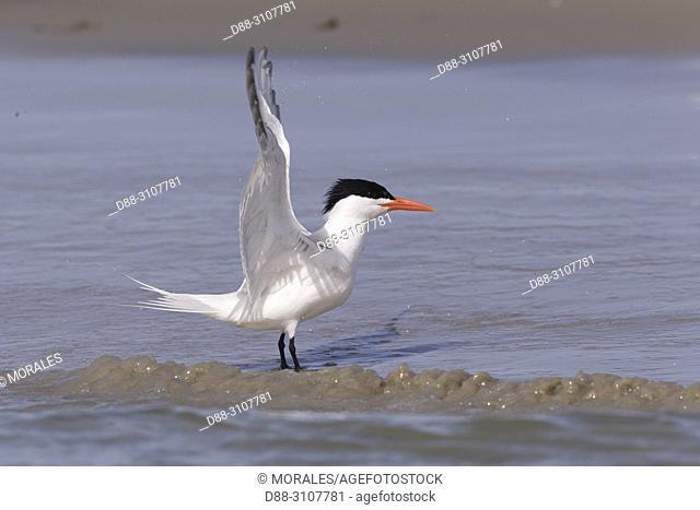 Central America, Mexico, Baja California Sur, Puerto San Carlos, Magdalena Bay (Madelaine Bay), . Royal tern (Thalasseus maximus), on the beach