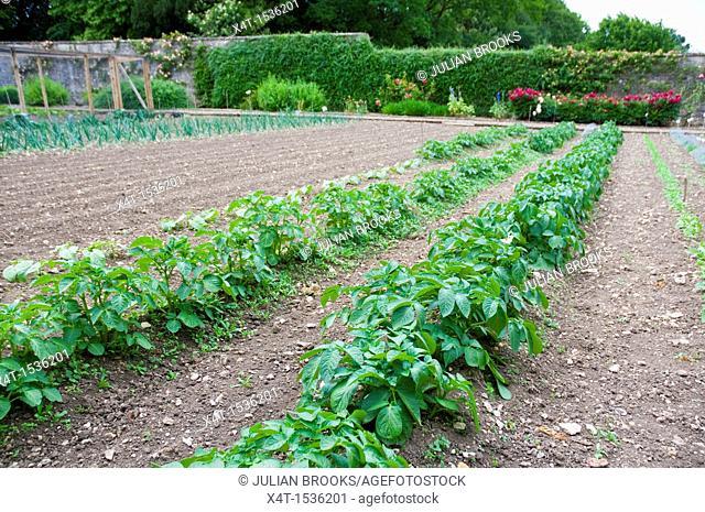 potato plants being grown in a formal kitchen garden