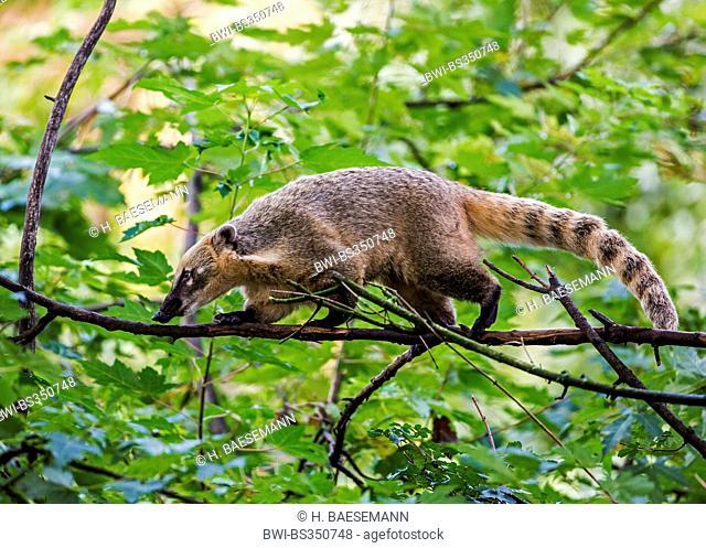 coatimundi, common coati, brown-nosed coati (Nasua nasua), walking along a branch, Germany, Hamburg