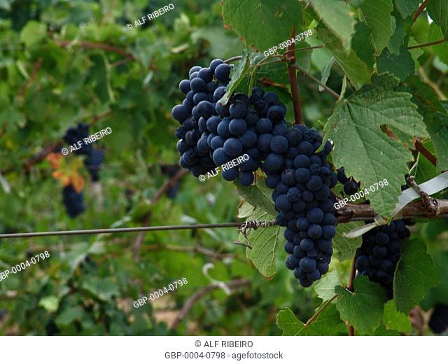 Bunches grapes, irrigated, production, wine, township, Lagoa Grande, Pernambuco, Brazil