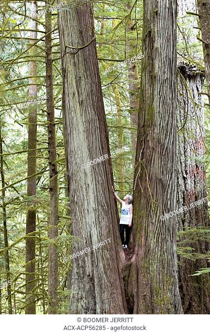 young woman is dwarfed by large Cedar trees, MacMillan Provincial Park, Port Alberni, Vancouver Island, British Columbia, Canada