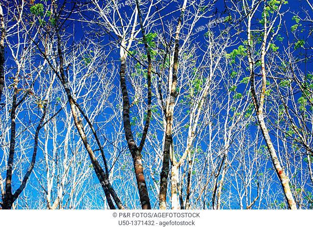 Leaves and stems of rubber tree Hevea brasiliensis, Euphorbiaceae, Rio Branco, Acre, Brazil, 2009
