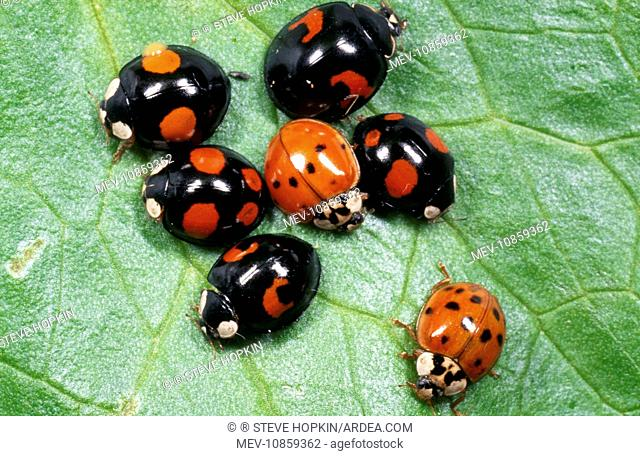 Harlequin LADYBIRD - Range of colour morphs (Harmonia axyridis). The Harlequin is a voracious predator and easily out competes our native ladybirds for food