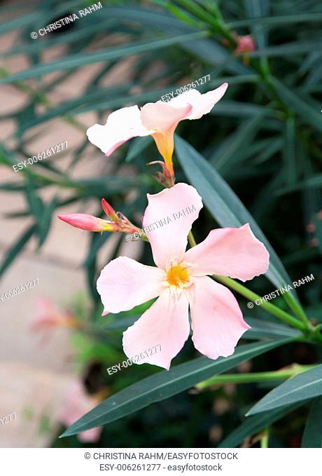 Oleander flowers. Nerium shrub with pastel pink flowers