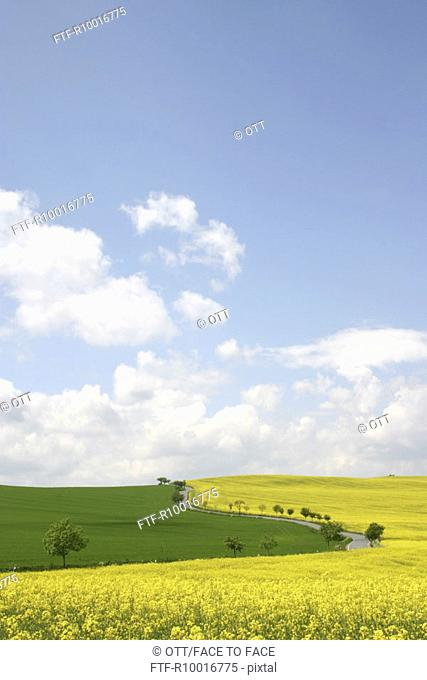 A winding road is seen amidst a grassland and a field full of rape-seed