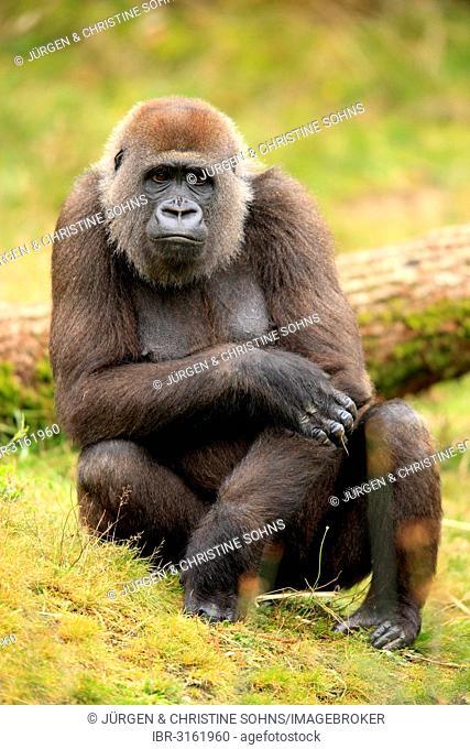 Western Lowland Gorilla (Gorilla gorilla gorilla), adult female, captive, Apenheul Primate Park, Apeldoorn, Gelderland, The Netherlands
