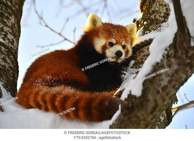 Red lesser panda in Asahiyama zoo, Asahikawa, Hokkaido, Japan, Asia