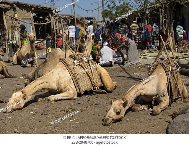 Camels sleeping in the market, Afar region, Assaita, Ethiopia