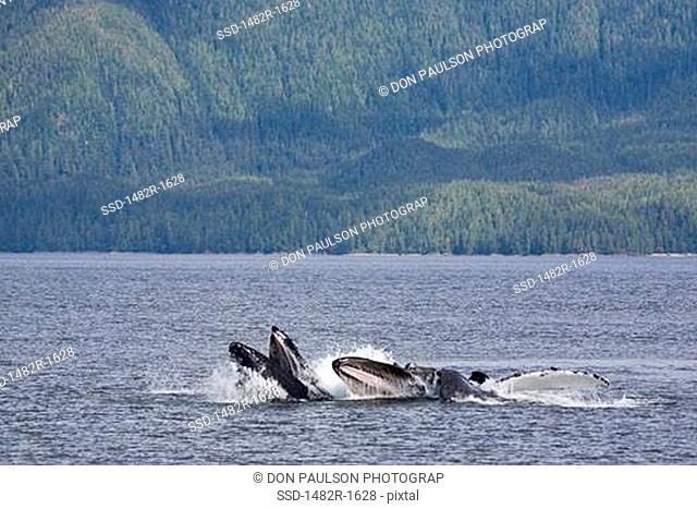 Humpback whale Megaptera novaeangliae feeding in the sea, British Columbia, Canada