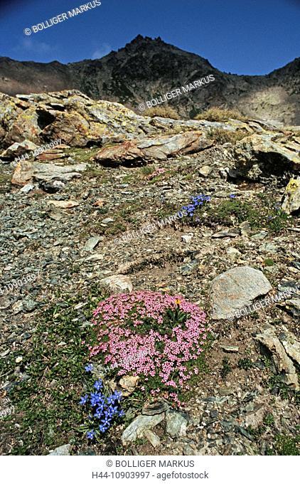 Maloja, Lunghin, Switzerland, Engadin, canton Graubünden, alpine flora, flower, wildflower, bavarian gentian, Gentiana bavarica, rock, cushion plant