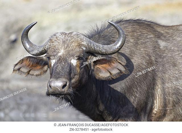 African buffalo (Syncerus caffer), adult female standing at a waterhole, alert, Kruger National Park, South Africa, Africa