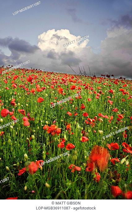 England, West Sussex, Ditchling. Vivid red colour displayed from poppies growing in a field under a stormy sky