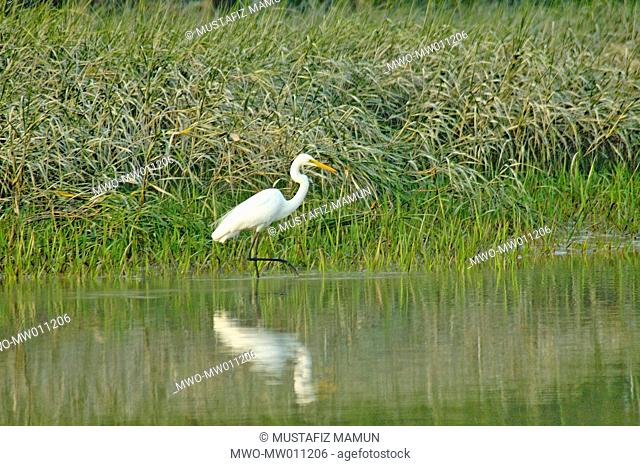 A large egret spotted in the Sundarbans, a UNESCO World Heritage Site and a wildlife sanctuary The largest littoral mangrove forest in the world