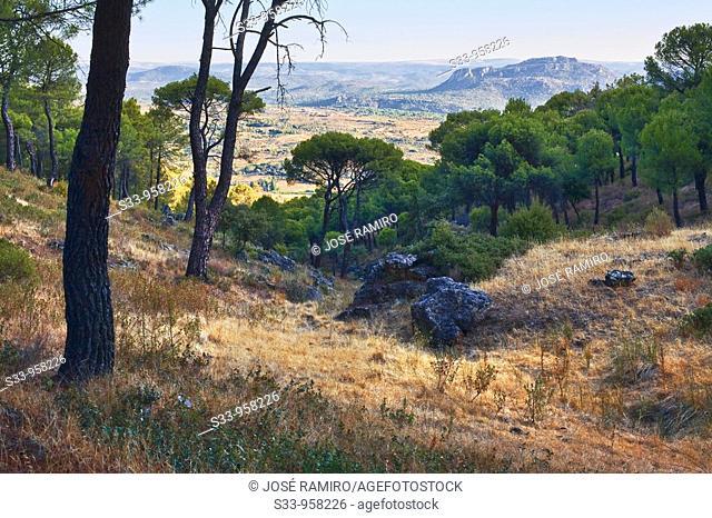 Pinos en el cerro Valdenoches  Pelayos de la Presa  Madrid  España