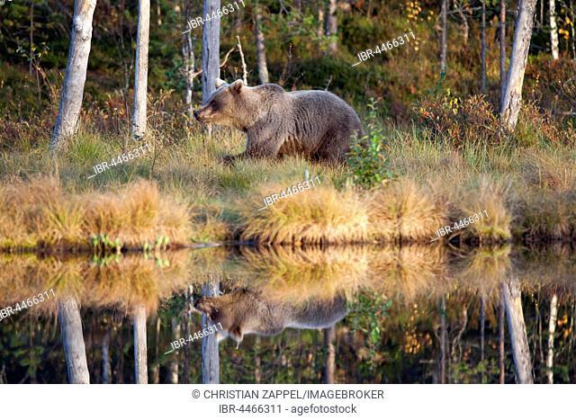 Brown bear (Ursus arctos), juvenile at lake, Kainuu, North Karelia, Finland