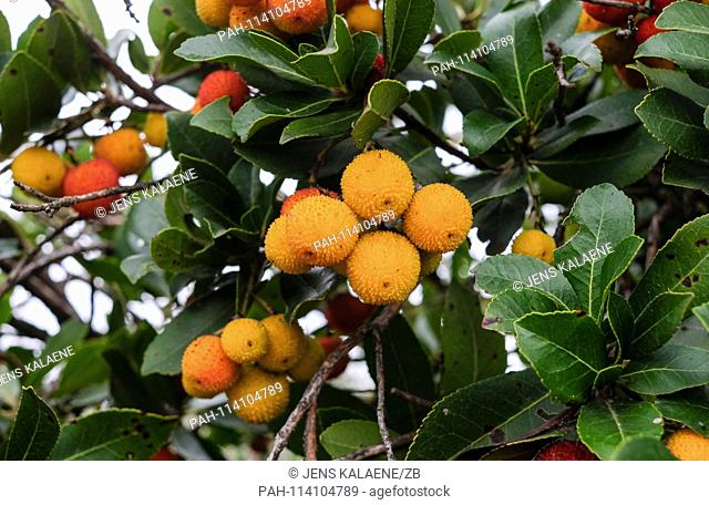 14.12.2018, Turkey, Izmir: fruits hang on the western strawberry tree (Arbutus unedo) from the heather family. The strawberry tree is an evergreen shrub