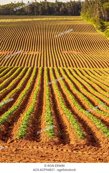 Potatoes growing in a red dirt field on Prince Edward Island, Canada