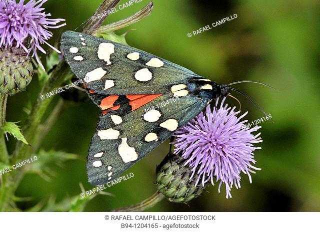 Scarlet Tiger Moth (Callimorpha dominula, fam. Arctiidae). Osseja, Languedoc-Roussillon, Pyrenees Orientales, France