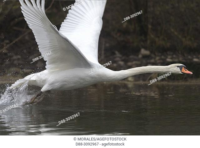 France, Alsace, Rhine forest, Mute swan (Cygnus olor), adult, in flight
