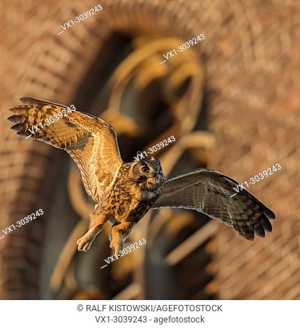 Eagle Owl( Bubo bubo ) adult male, flying in front of an old church, through its habitat in urban surrounding, warm evening light, wildlife, Europe