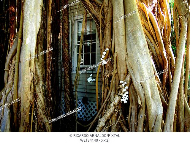 Ficus roots around house, Key West, Florida