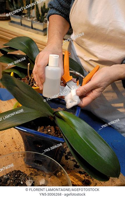 Disinfection of the blades of the secateur before the cut of an orchid and its repot