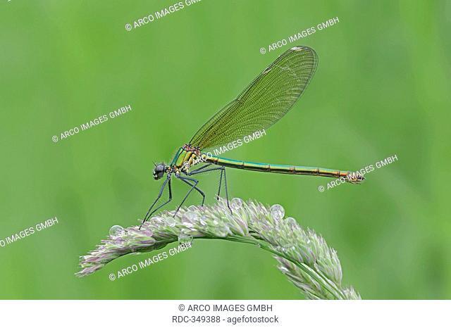 Banded Demoiselle, female, North Rhine-Westphalia, Germany / Calopteryx splendens, Agrion splendens