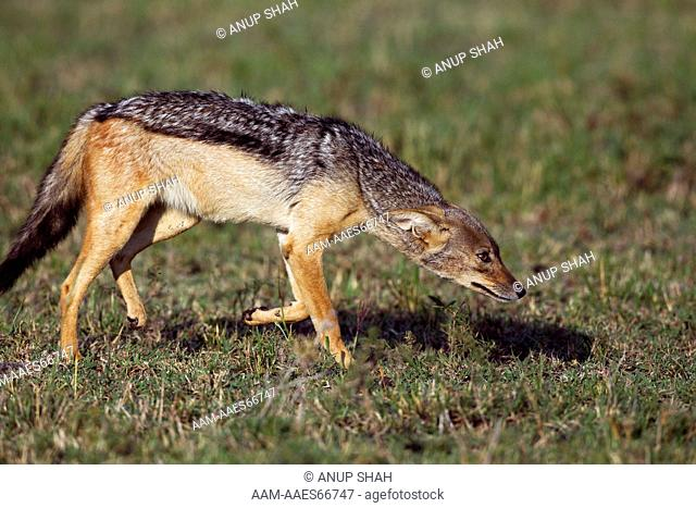 Black-backed jackal prowling (Canis mesomelas). Maasai Mara National Reserve, Kenya. Aug 2011