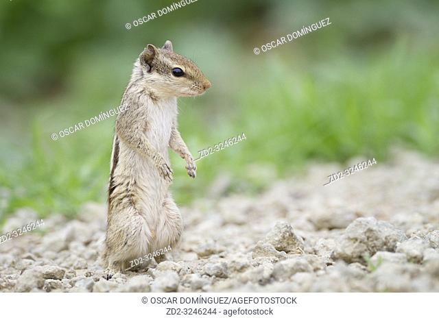 Five-striped Palm Squirrel (Funambulus pennantii). Keoladeo National Park. Bharatpur. Rajasthan. India