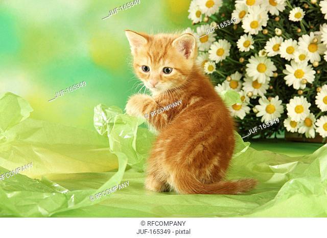 domestic cat - kitten - sitting