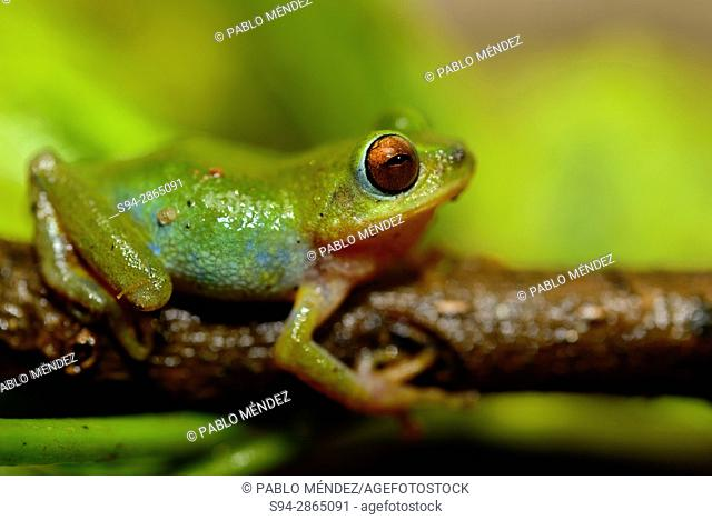 Rhacophorid bushfrog (Raorchestes beddomii) in Munnar, Idukki province, Kerala, India