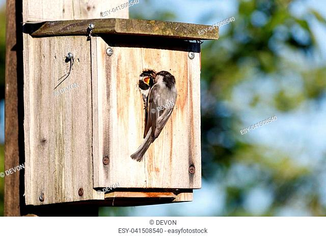birdhouse and Black capped Chickadee feeding young bird, Vancouver BC Canada