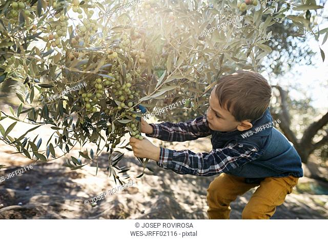 Boy picking olives from tree