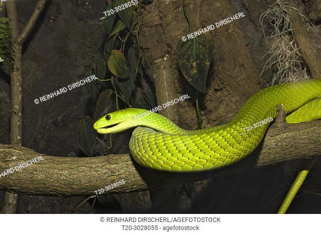 Eastern Green Mamba, Dendroaspis angusticeps, Kenya