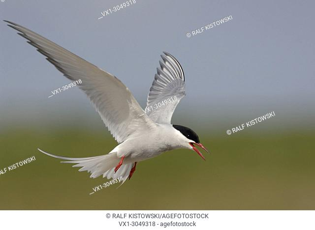 Adult Arctic tern ( Sterna paradisaea ) in flight, stretched wings, calling agressive, nice background, wildlife, Europe