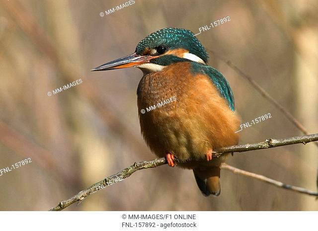 Close-up of Common Kingfisher Alcedo atthis bird perching on branch, Germany