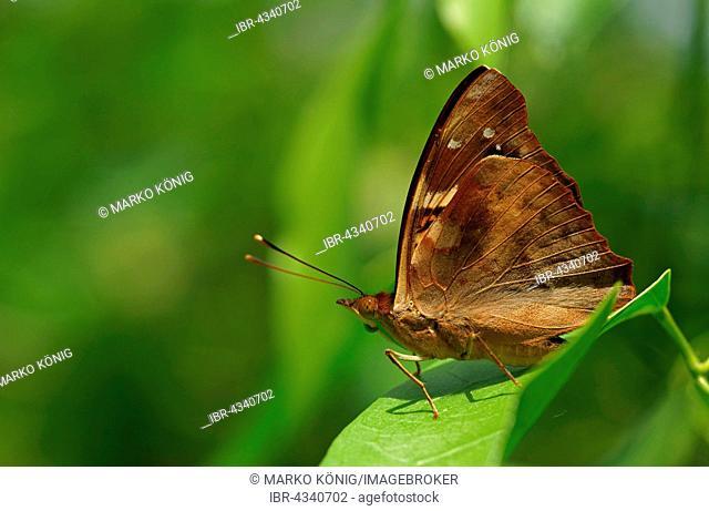 Nymphalidae (Nymphidae) Tropical Butterfly, (Doxocopa linda), Iguazú National Park, Paraná, Brazil