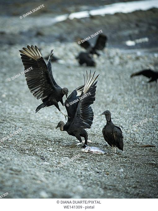 """""""""""Black Vulture"""" (Coragyps atratus), Thereby, a dead body can literally disappear within few days (this process happens a lot faster in the tropics than in..."