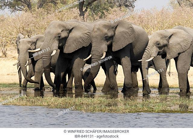 African Bush Elephants (Loxodonta africana), Moremi Game Reserve, Botswana, Africa