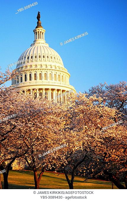 Cherry blossoms bloom around the United States Capitol Building