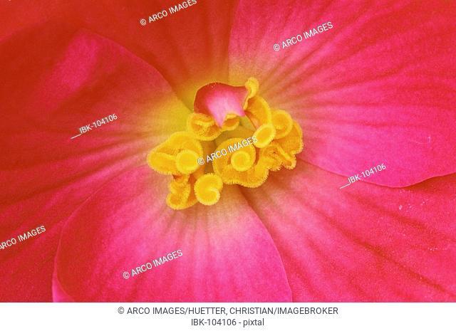 Begonia, blossom detail (Begonia tuberhybrida hybride