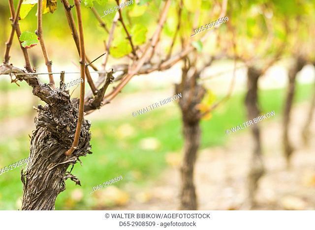 Canada, Ontario, Niagara On the Lake Wine Country, vineyards, autumn