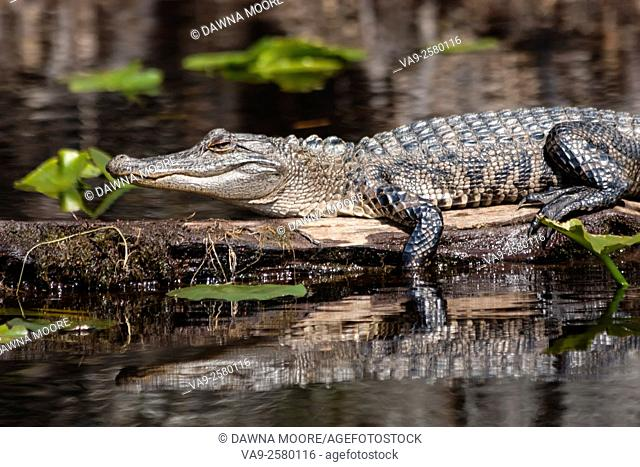 An American alligator (Alligator mississippiensis) warming itself by sitting in the sun in a swamp