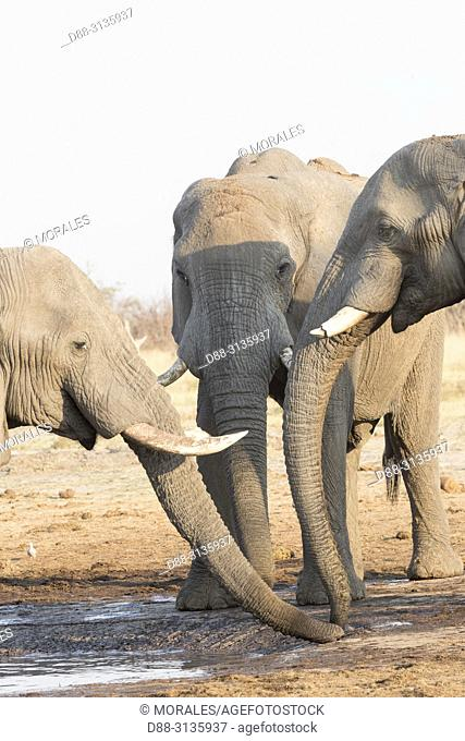 Africa, Southern Africa, Bostwana, Savuti National Park, African bush elephant or African savanna elephant (Loxodonta africana), near the water hole