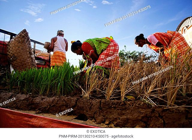 Glimpse showing rice plantation at traditional procession in a carnival, Goa Carnivals, Goa, India