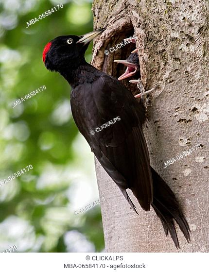 Adamello Natural Park, Lombardy, Italy, Black Woodpecker
