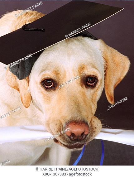 Yellow Labrador Retriever with diploma and graduation cap